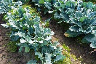 Field crop — broccoli